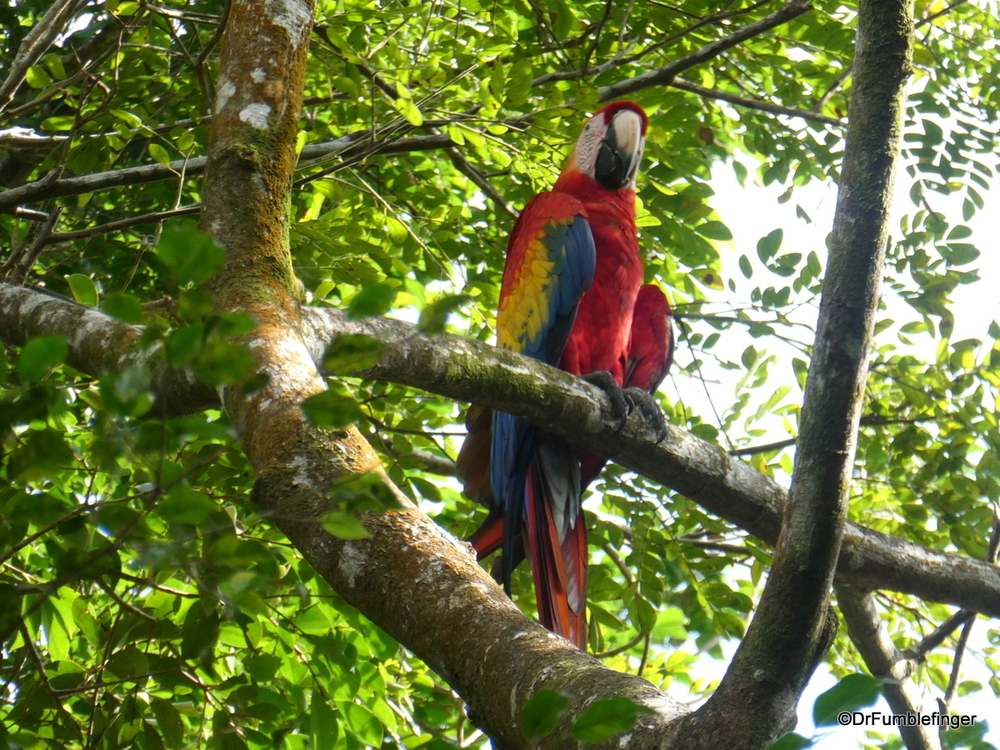 Scarlet Macaw, Turtle Bay Resort