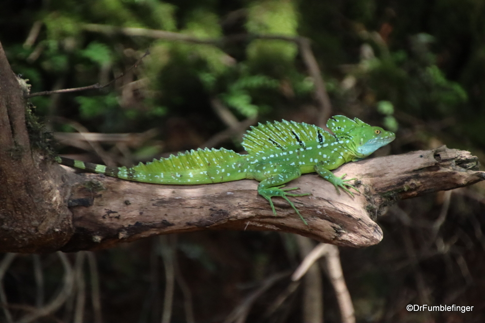Male Emerald Basilisk Lizard, Costa Rica