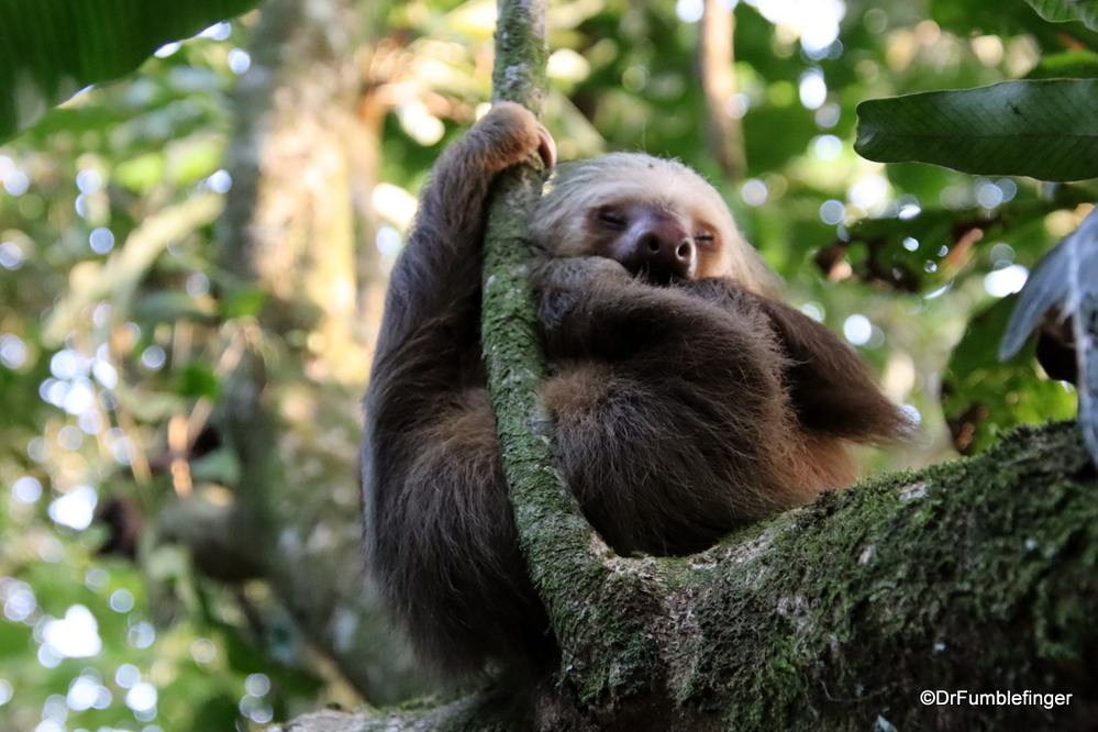 Two-toed sloth, Costa Rica