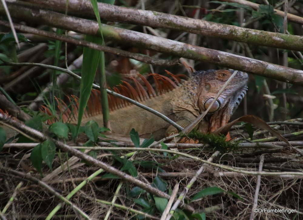 Adult male iguana hiding in the underbrush, Tortuguero National Park