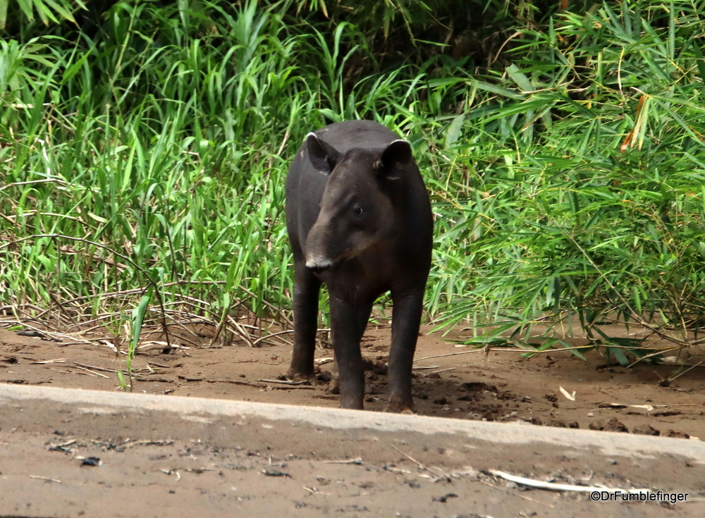 Tapir -- a rare animal to see.  Tortuguero National Park