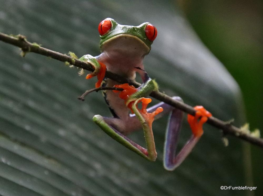 Red-eyed Tree Frog, Bogarin Trail, La Fortuna