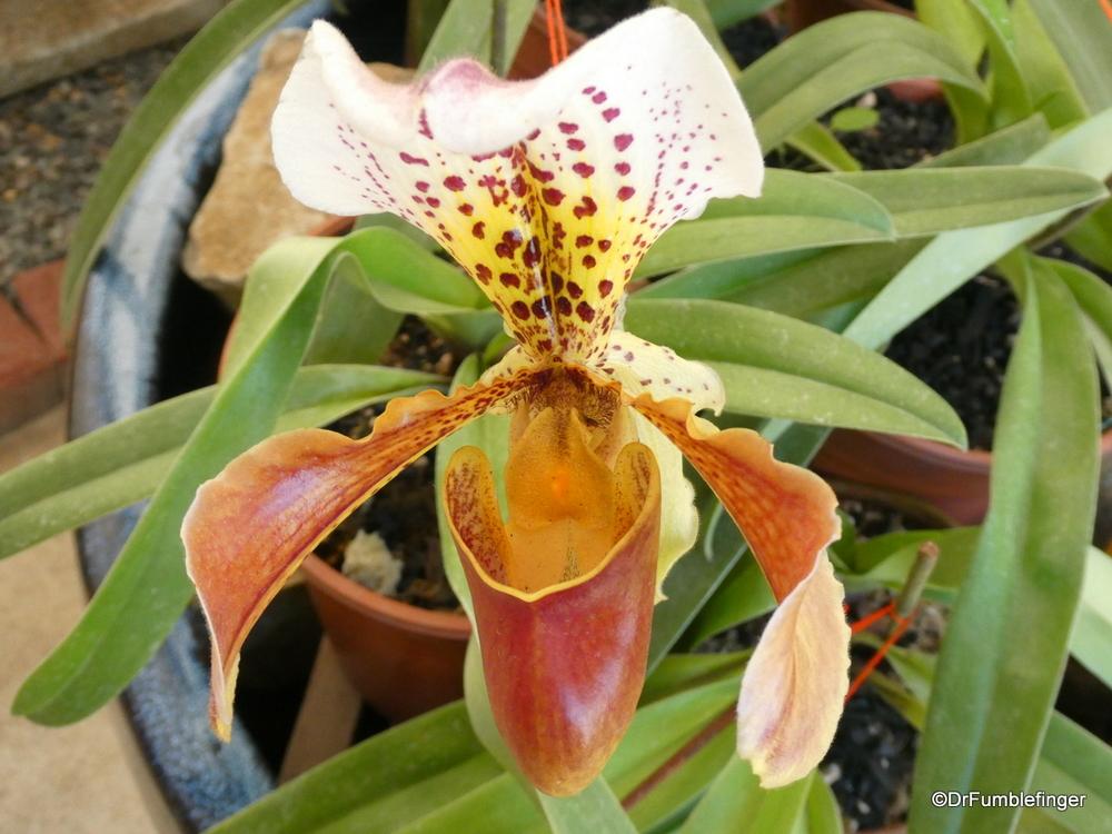 Beautiful orchid, Lankaster Garden, Costa Rica