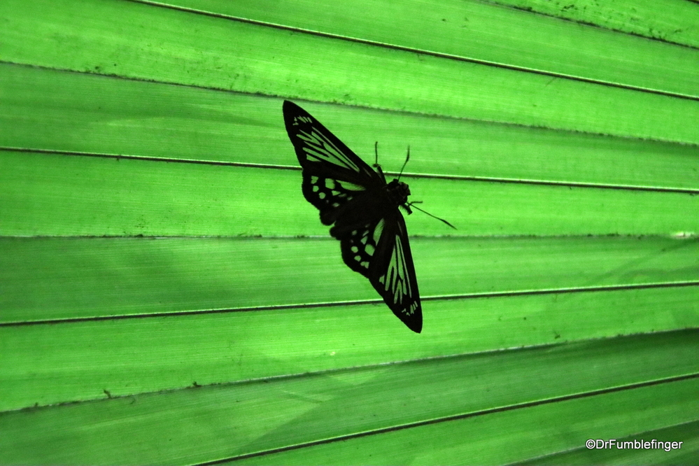 Glass wing butterfly sitting on a palm frond, Costa Rica