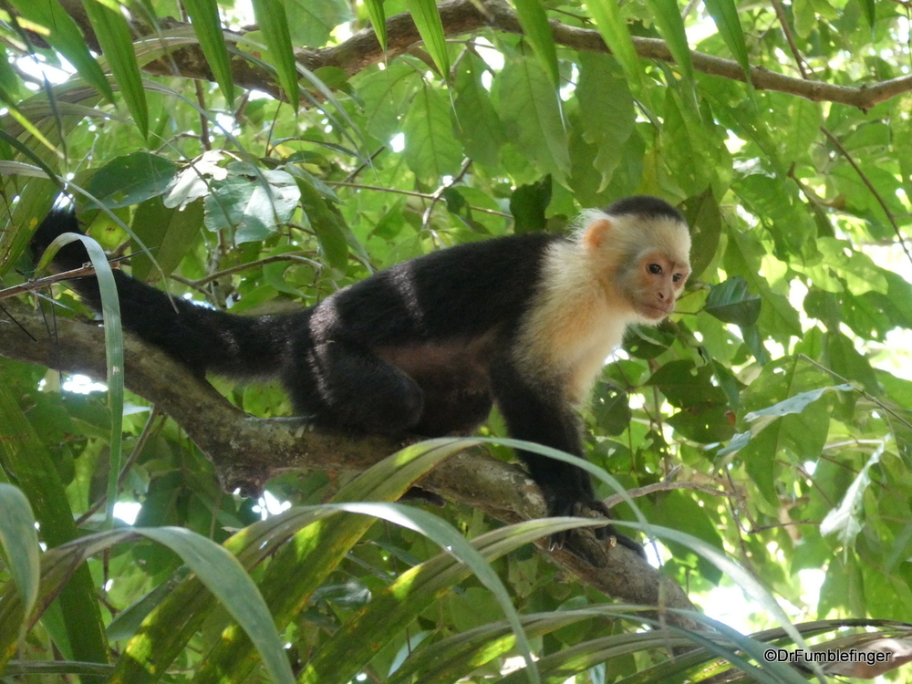 White-faced capuchin monkey, Manuel Antonion National Park, CostaR Rica