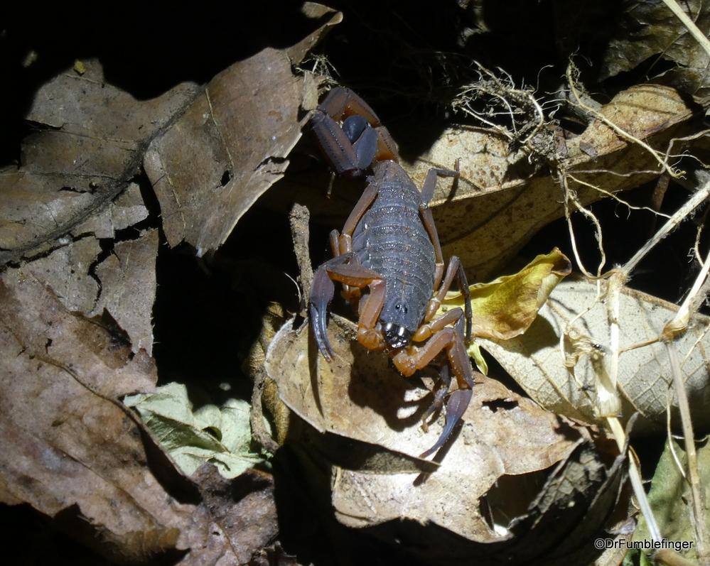 Scorpion discovered on a night trek, Monteverde, Costa Rica