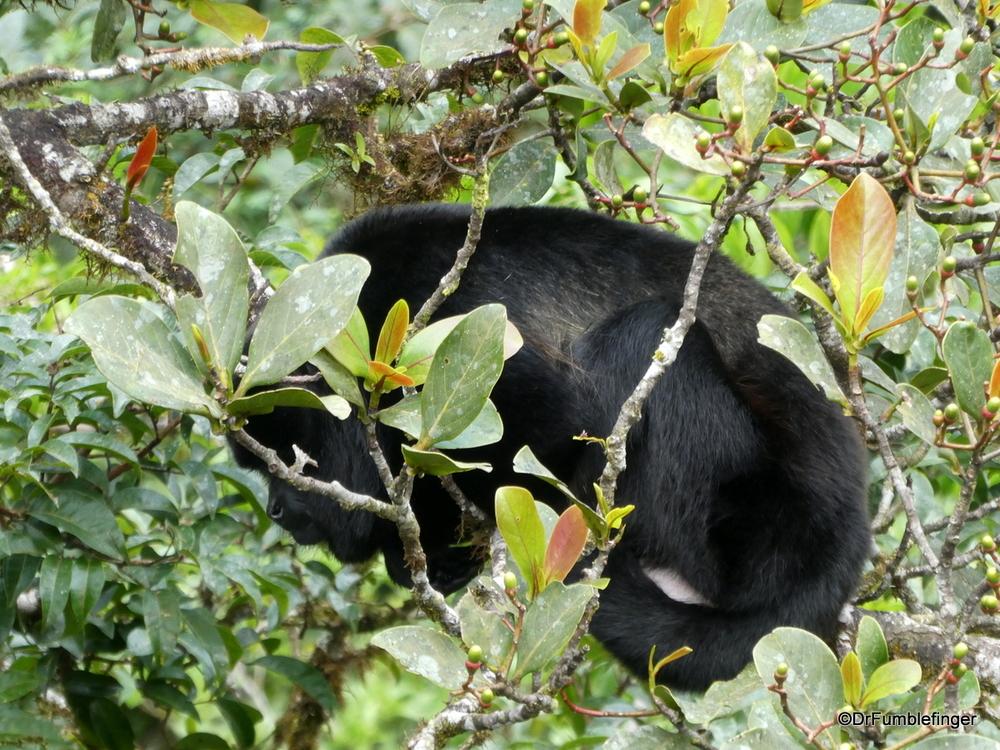 Sleeping howler monkey photographed from above.  Hanging Bridges Monteverde