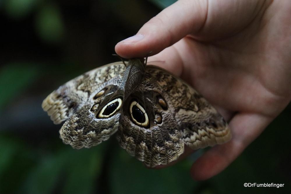 Owl Butterfly, Monteverde Butterfly Garden, Costa Rica