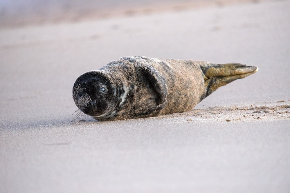 Grey Seal Pup, Northumberland. Photographed after sunset with soft moonlight. ISO 10,000, 600mm lens.