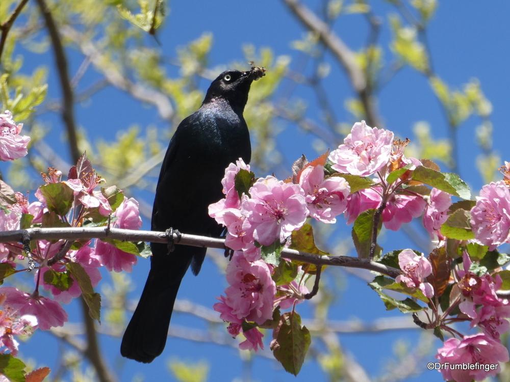 Blackbird with bug in beak, Grangeville