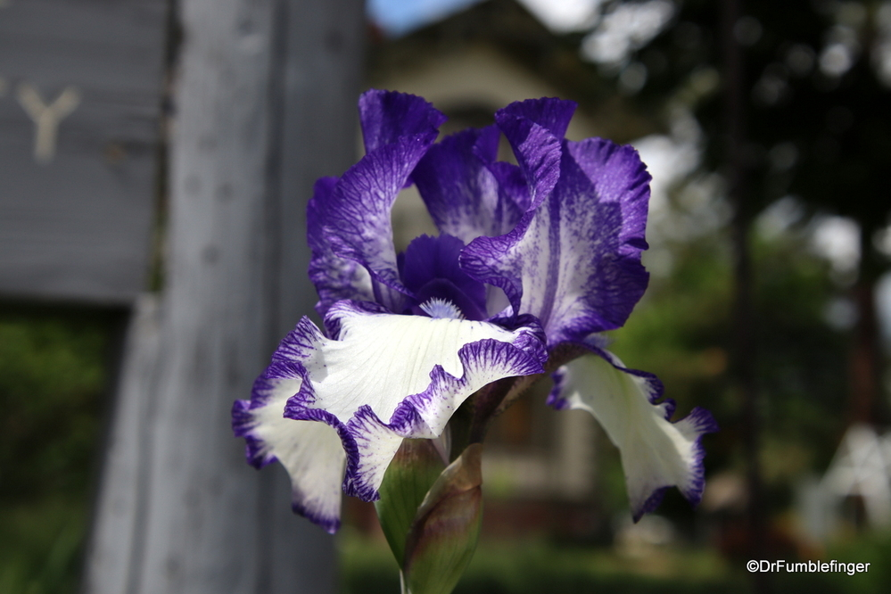 The Irises were lovely this time of year, Colfax