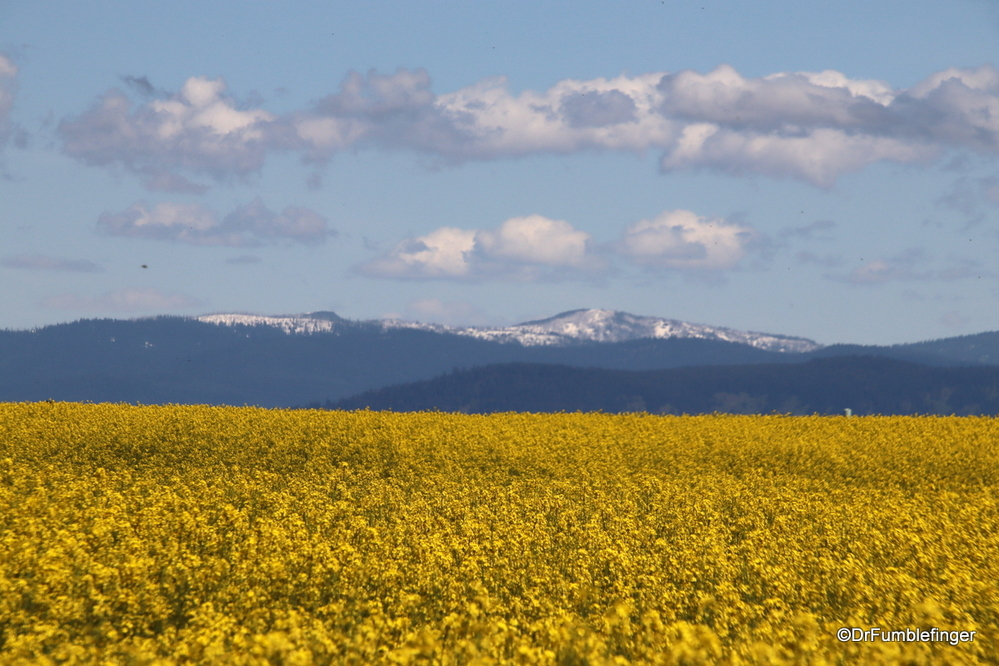 Field of Canola, close to Grangeville