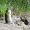 Columbia ground squirrel and her kit, Banff National Park
