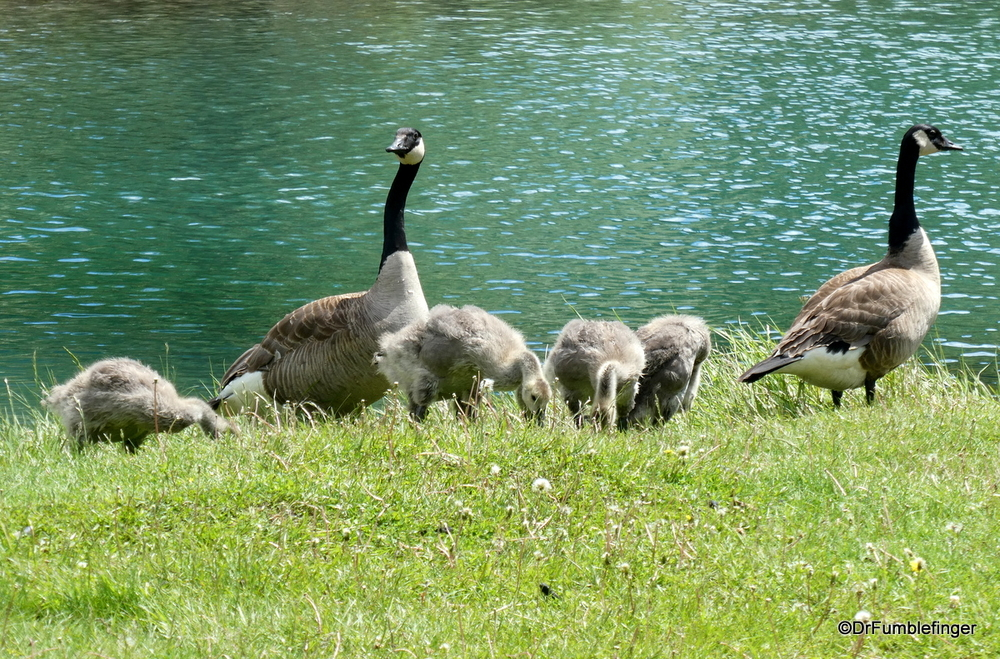 A family of Canada Geese, Banff National Park