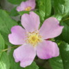 Wild Rose, Yoho National Park