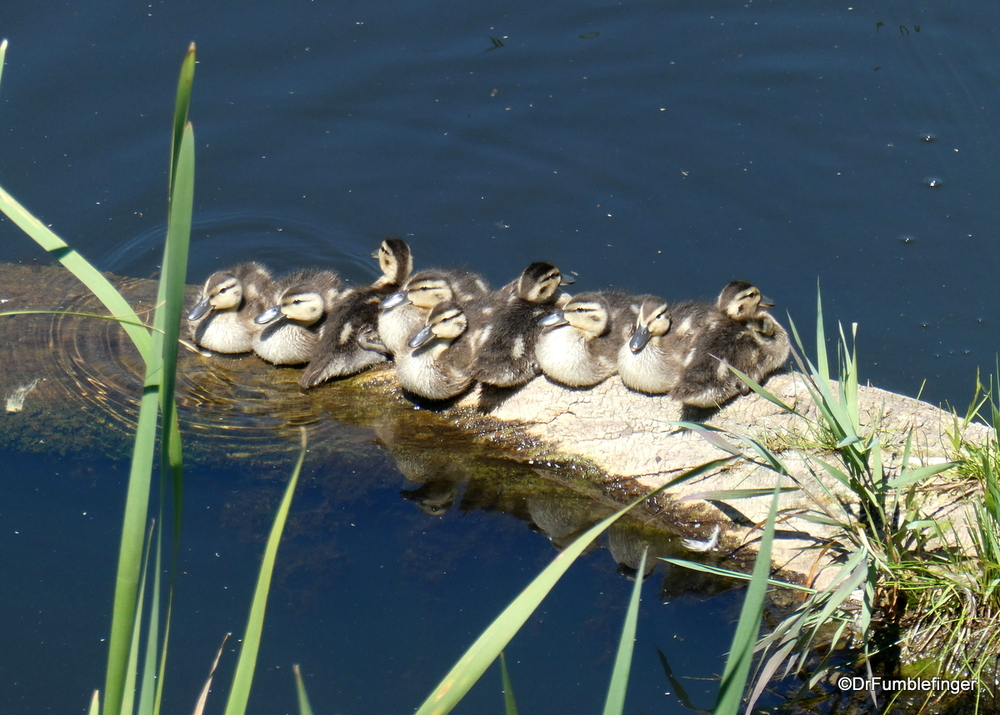 A group of ducklings, Alberta
