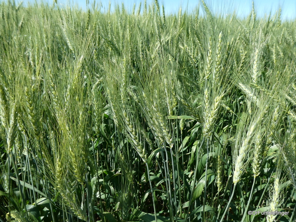 Field of ripening wheat, Alberta