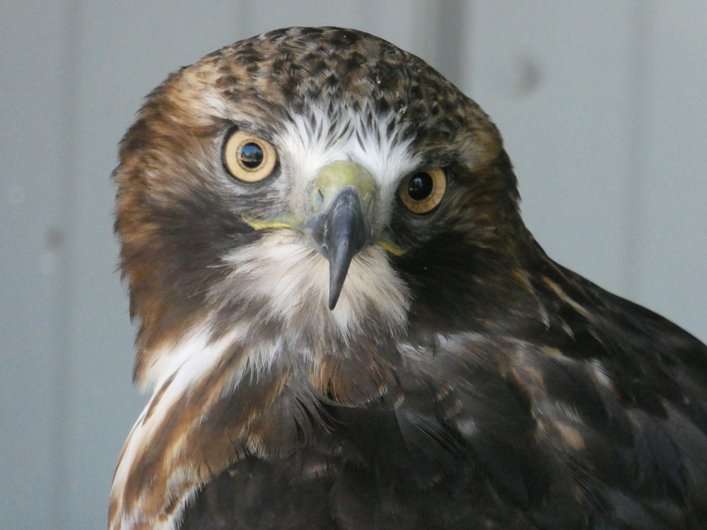 Red Tailed Hawk, Birds of Prey Center, Coaldale