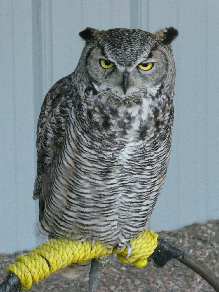 Great Horned Owl, Birds of Prey Center, Coaldale