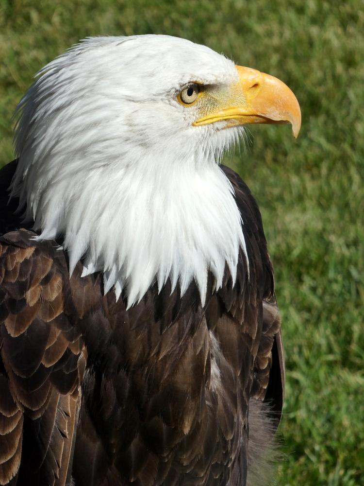 Bald Eagle, Birds of Prey Center, Coaldale