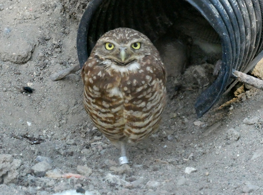 Burrowing Owl, Birds of Prey Center, Coaldale