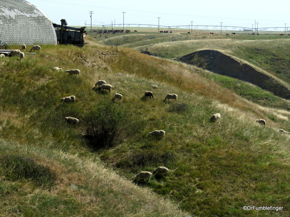 Sheep taking care of the grass growing on a hill, Picture Butte