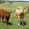 Free range cattle, Cypress Hills Interprovincial Park