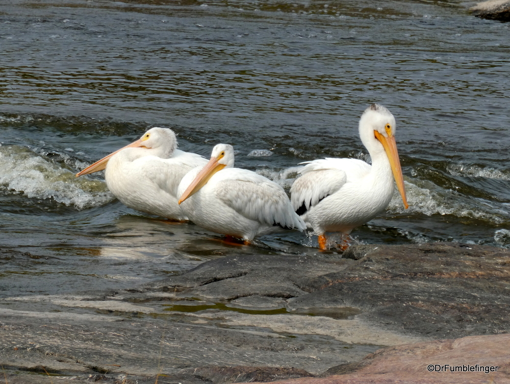American White Pelican, Whitemouth Falls Provincial Park, Manitoba