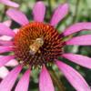 Flower and Bee, English Garden, Assiniboine Park, Winnipeg