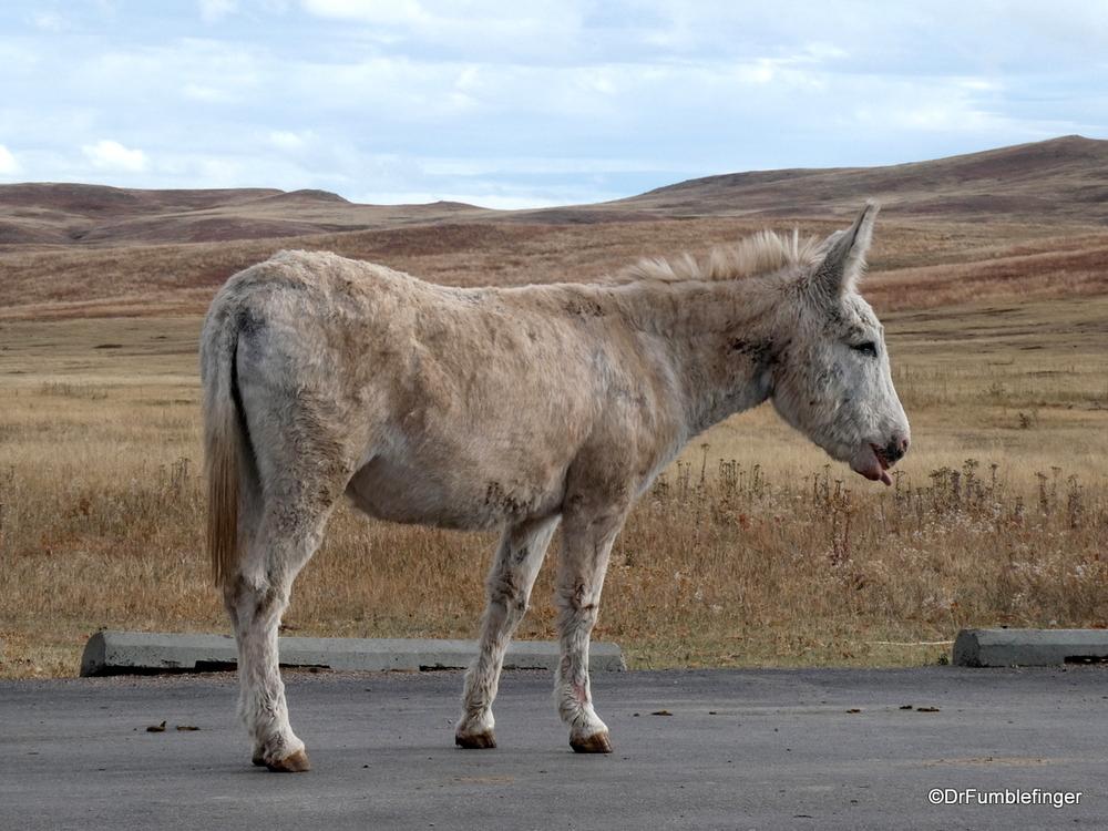 Feral burro, Custer State Park