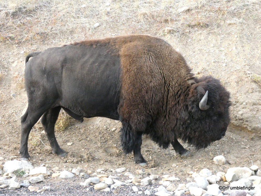 Free-roaming bison, Custer State Park