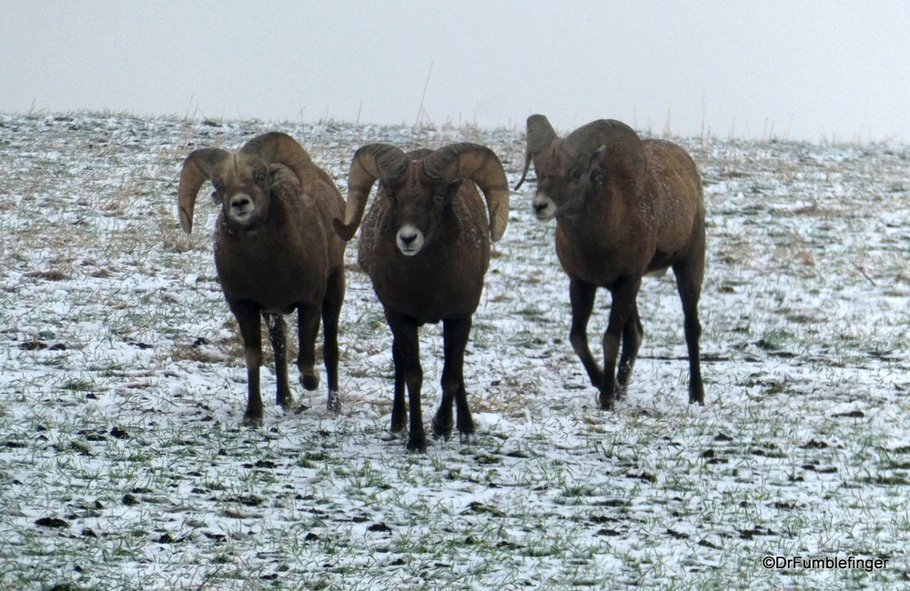 Three Bachelor Bighorn Sheep, South Dakota