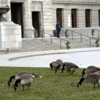 Geese at Museum of Fine Art, Boston