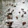 A Confederacy of Ducks