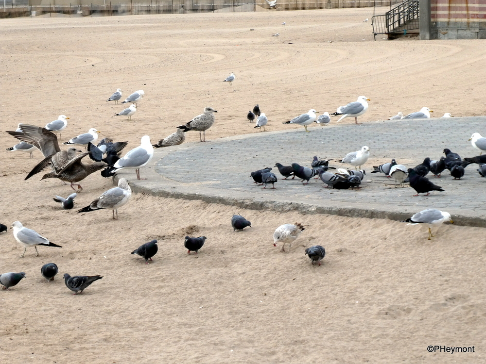 Gulls, Geese and Pigeons, Coney Island