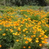 Golden Poppies, Endlessly