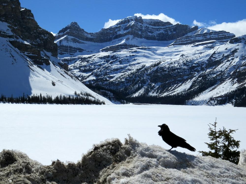 Raven at a frozen Bow Lake, Banff National Park