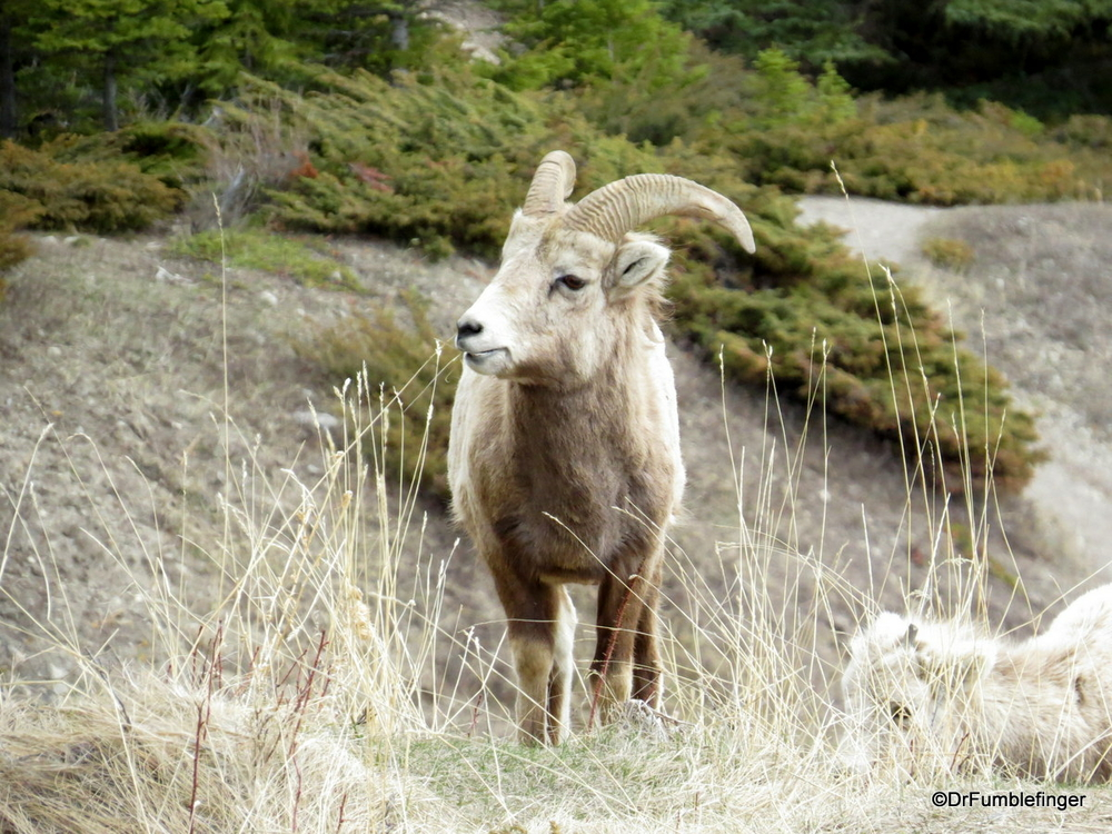 Bighorn Sheep, Banff National Park