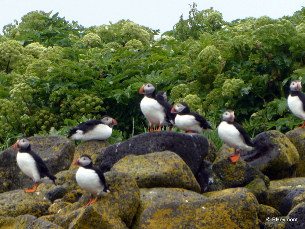 Puffins on the Rocks