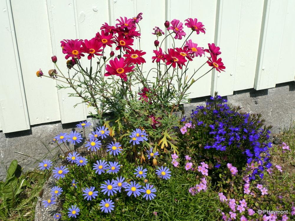 Reykvavik summer flowers