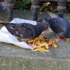 Pigeons in Heaven, Paris